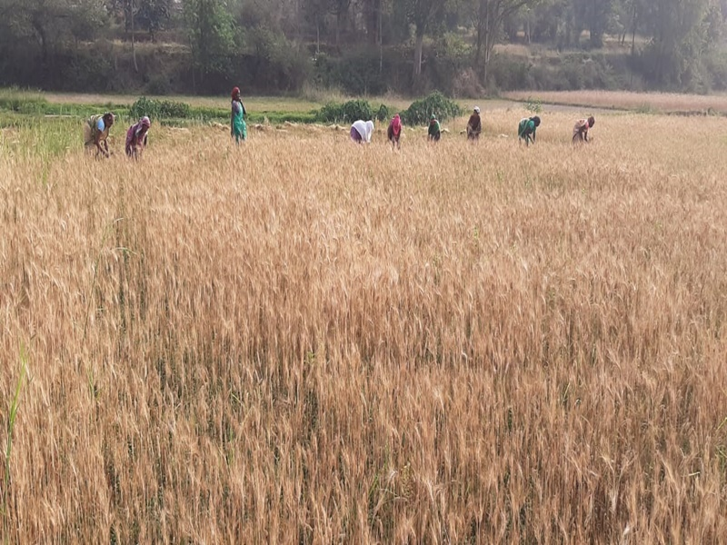 Agriculture News: सरगुजा जिले में छह हजार हेक्टेयर में लगी सुगंधित धान की फसल पर मौसम का खतरा
