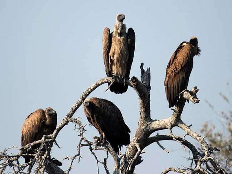 Madhya Pradesh News:  पीपल का  प्राचीन पेड़ जल जाने से घोंसले जले तो अपने ही बसेरे से रूठ गए गिद्धराज