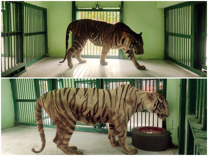 Black White Tiger Indore: इंदौर आए ब्लैक और व्हाइट टाइगर, सिल्वर और गोल्डन फिजन के जोड़े भी