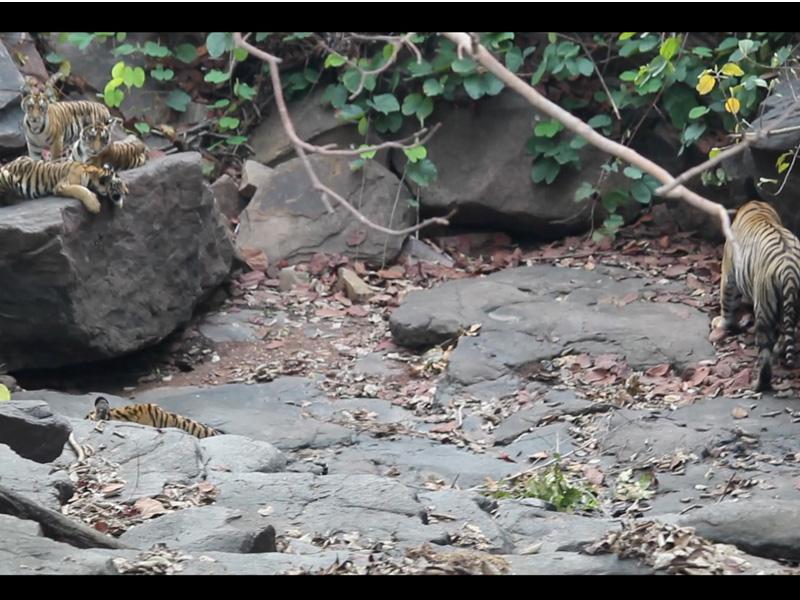Panna Forest News: पन्ना टाइगर रिजर्व में चट्टानों पर अठखेलियां करते दिखे चारों शावक