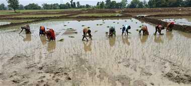 बारिश से किसानों को राहत, धान की रोपाई का काम जोरों पर चल रहा