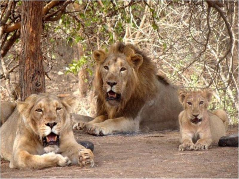 Lions of gujarat : मध्य प्रदेश आएंगे गुजरात के शेर, प्रकाश जावडेकर ने दिया उमंग सिंघार को जवाब