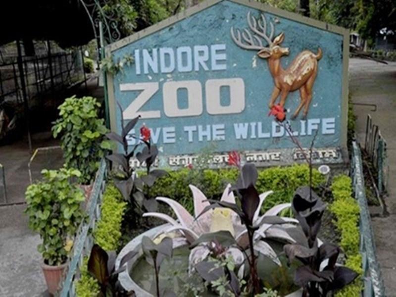 Indore Zoo: एनिमल एक्सचेंज प्रोग्राम शुरू होने से खुला व्हाइट टाइगर के इंदौर आने का रास्ता