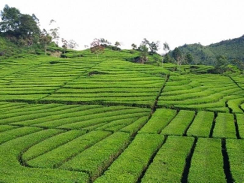Bilaspur News: वनवासी करेंगे चाय की खेती, मनरेगा के फंड से तैयार करेंगे बागान