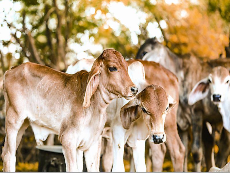 ग्वालियर में गोपाष्टमी के मौके पर आज गोशालाओं में विशेष आयोजन, हो रही गाय व गुरु की पूजा
