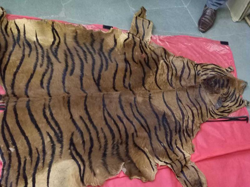 Ujjain Crime News: 25 लाख रुपये में बेच रहे थे बाघ की खाल, दो पकड़ाए, एक फरार
