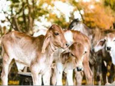 घुमका पशु चिकित्सालय में बीमार पशुओं के इलाज की व्यवस्था फेल