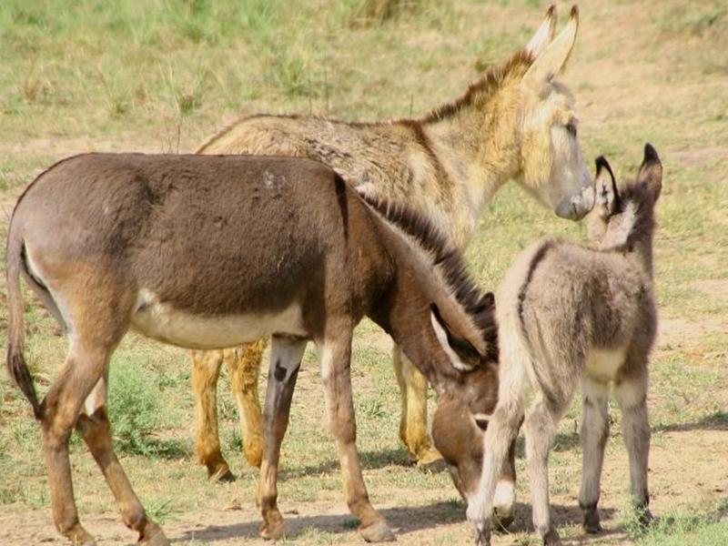 Donkey Meat: इस राज्य में गधों के मांस की जबरदस्त डिमांड, लोग कह रहे बढ़ती है ताकत