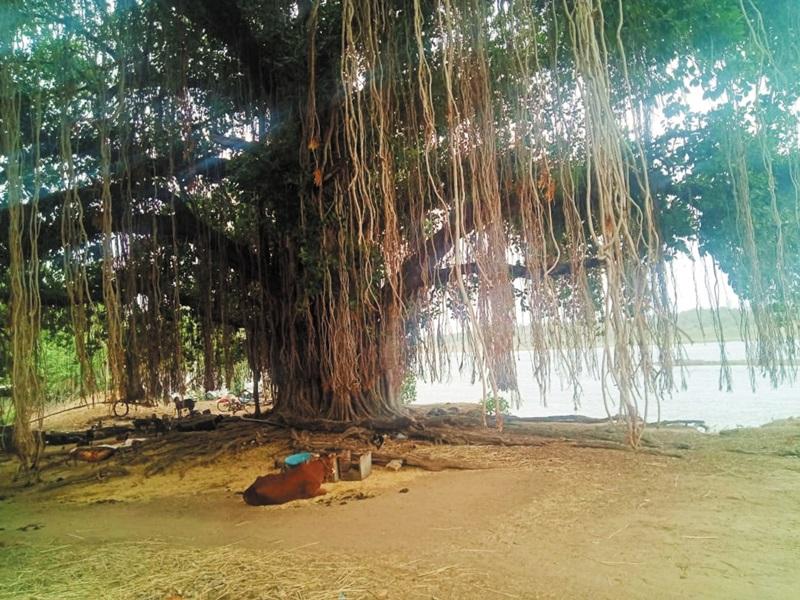 Vat Savitri Vrat 2021: मध्य प्रदेश के इस जिले में है 300 वर्ष पुराना वटवृक्ष, वटसावित्री व्रत पर महिलाएं करेंगी पूजन