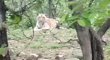 बुधनी रेलवे ट्रेक के पास बैठा दिखा बाघ