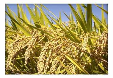 सिवनी का सुगंधित जीराशंकर चावल मिलेगा आनलाइन