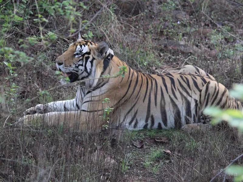 Panna Forest News: जंगल और वन्य प्राणी के रहस्यमयी दुनिया पर पन्ना टाइगर रिजर्व लिखेगा इतिहास