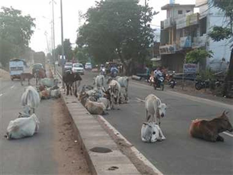Cattle on the Streets: शहर की सड़कों पर फिर से चलेगा मवेशियों को पकड़ने अभियान