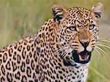 लकड़ी लाने जंगल गई बालिका पर तेंदुए ने किया हमला, मौत