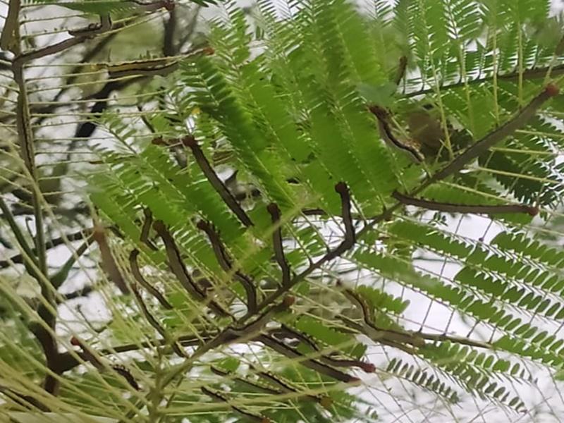 Raipur News: नई मुसीबत, सदाबहार रहने वाले गुलमोहर की पत्तियों को इल्लियों ने किया साफ