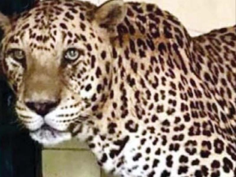 Jodhpur: 19 साल के 'सलीम' को पड़ा दिल का दौरा, माचिया सफारी पार्क में पैंथर की हुई मौत