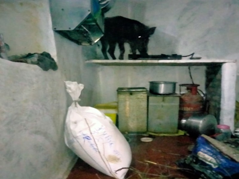 Vidisha News: ग्रामीण के घर में घुसा जंगली सुअर, किचन में गैस स्टैंड पर चढ़कर बैठा