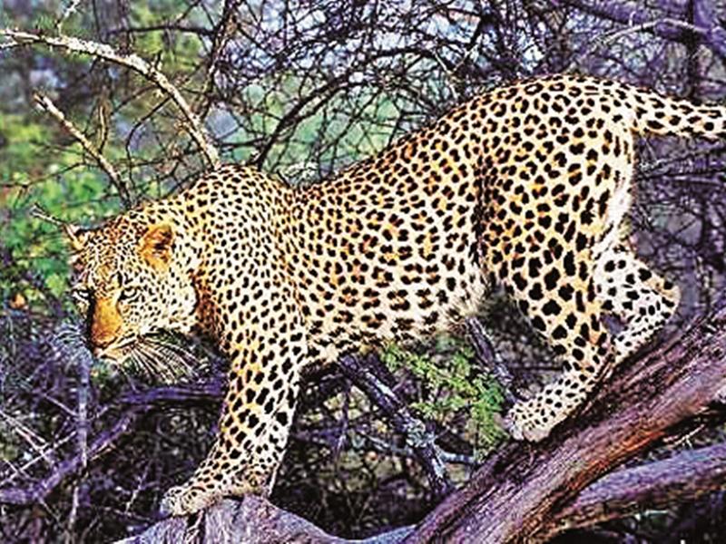 Leopard hunt in Bilaspur: तेंदुए को फंसाने मुर्गे को बनाया फंदा, खाली ही रहा पिंजरा