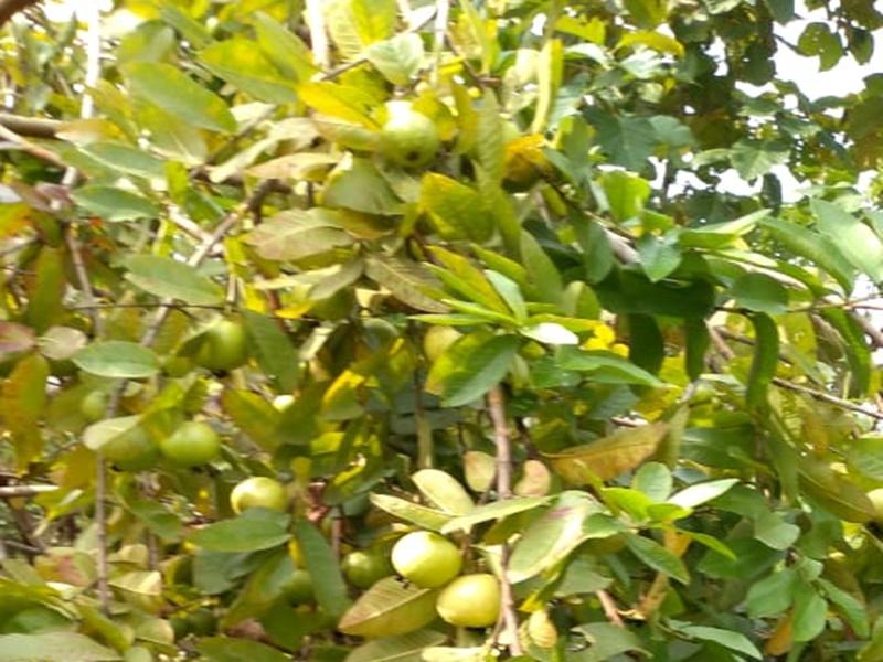 Ambikapur News: स्वास्थ्यवर्धक गुणों से भरपूर अमरूद यहां कंपोस्ट खाद बनाने के आ रहा काम
