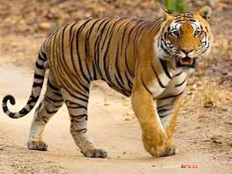 Umaria News: बाघिन की मौत के मामले में हमलावर बाघ की तलाश तेज