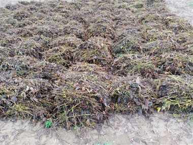 किसानों के अरमानों पर बरसा पानी, पकी फसल भींगने से होगी क्षति