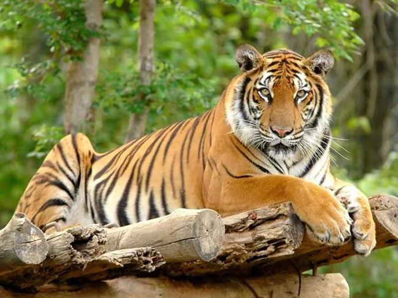 Bhopal News: भोपाल के जंगल में बढ़ेगी बाघों की सुरक्षा, रात्रिकालीन गश्त की होगी निगरानी