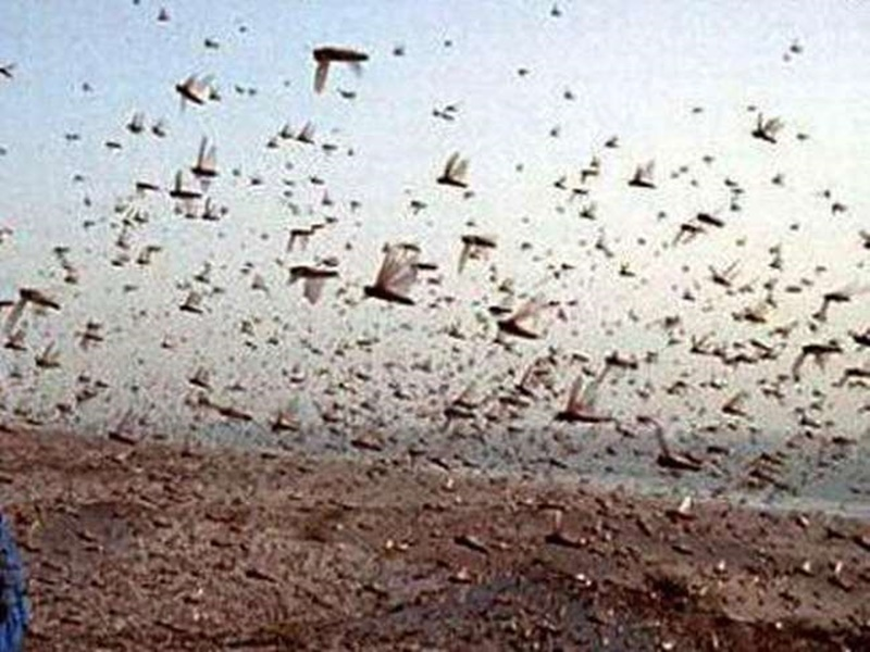 Ambikapur News: छत्तीसगढ़ में भी टिड्डी दल के आक्रमण का खतरा, चेतावनी जारी