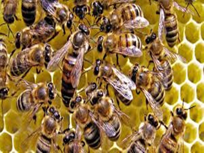 सिवनीमालवा के गांधी चौक पर मधुमक्खियों का हमला, मची अफरा-तफरी