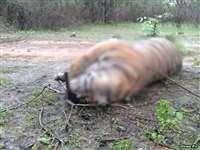 कान्हा नेशनल पार्क में शिकारियों के फंदे में आकर बाघ की मौत