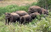 बांधवगढ़ और सीधी के जंगलों में सक्रिय जंगली हाथियों से अब न हो नुकसान