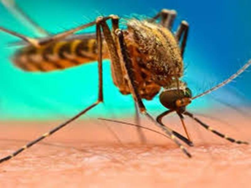 Dengue In Bhopal: डेंगू का बढ़ता कहर, भोपाल में नौ नए मरीज मिले