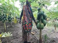 MP के श्योपुर जिले में आदिवासी महिलाओं ने उगाया ताइवान का पपीता, छह माह में आय हुई दोगुना