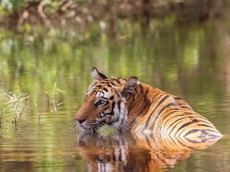 Umaria News: बूढ़े और कमजोर बाघों का नया ठिकाना होगा जगुआ सफारी