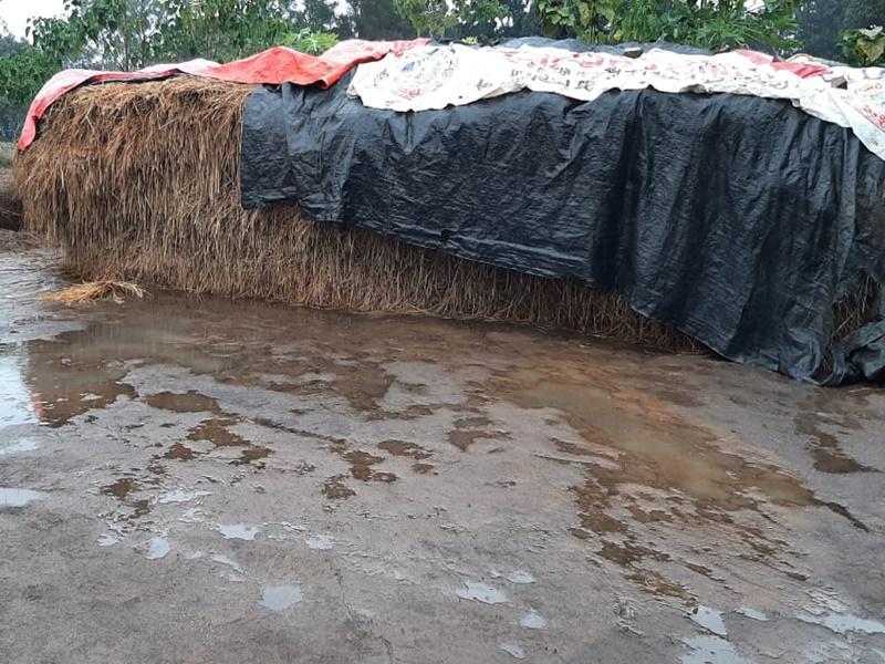 बेमौसम बारिश से बर्बाद हो रही फसल के लिए प्रदेश सरकार जिम्मेदार : मोहन साहू