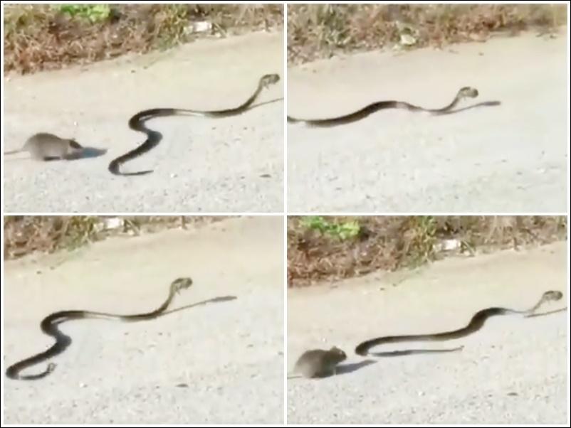 Viral Video : सांप इस जीव को मुंह में दबाकर भाग रहा था लेकिन सीन बदल गया, देखें वीडियो