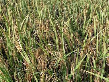 प्रधानमंत्री फसल बीमा योजना के तहत किसानों मिला 26.51 करोड़ का मुआवजा