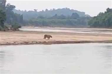 Chhattisgarh: इंद्रावती नदी के तट पर बाघ दिखने का दावा, इंटरनेट मीडिया पर वायरल हो रहा यह VIDEO