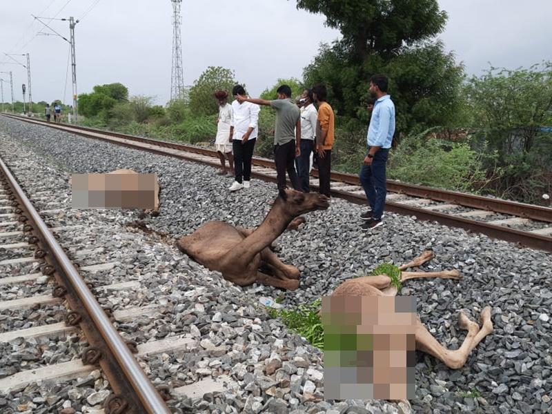 Rajasthan: ट्रेन की चपेट में आने से छः ऊंटों की मौत, पटरी पार करते वक्त हुआ हादसा