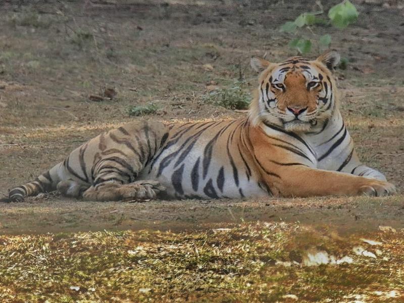 MP News : कान्हा टाइगर रिजर्व से 'छोटा मुन्ना' 8 माह से गायब, शिकार की आशंका