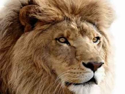 गिर में खूंखार होते शेर, गांव में घुसकर दो पशुओं का किया शिकार