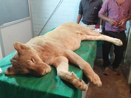 इंदौर के चिड़ियाघर में शेर सुल्तान की मौत कैसे हुई , दिल्ली ने मांगा स्पष्टीकरण