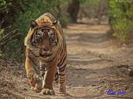 बाघ की खाल बेचने का प्रयास करते 6 आरोपित गिरफ्तार, 10 लाख के अवशेष जब्त