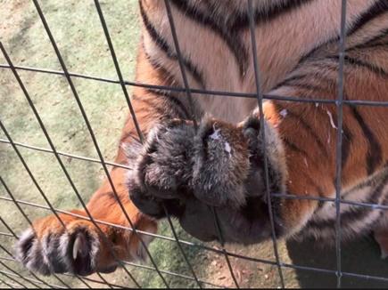 शिरडी से बाघों के नाखून और खाल बेचने वाला गिरोह पकड़ा