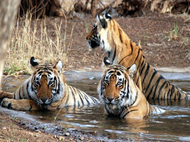 मध्यप्रदेश में कितने बाघ, 29 जुलाई को घोषित होगी संख्या