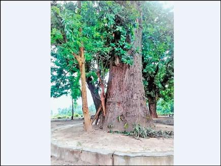 आपने कभी देखा है 1400 साल पुराना कोई पेड़